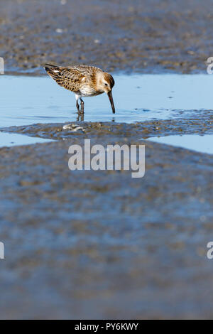 Dunlin (Calidris alpina) in the nature. Moscow region, Russia. - Stock Image