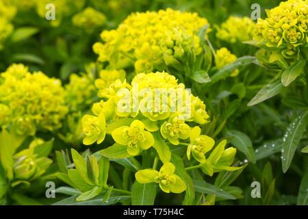 Euphorbia palustris flowers in the garden. - Stock Image