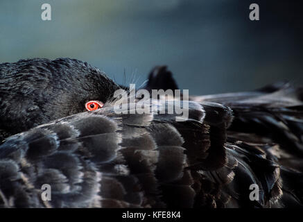 Black Swan,(Cygnus atratus), resting with head tucked under its wing, Murray-Darling, New South Wales, Australia - Stock Image