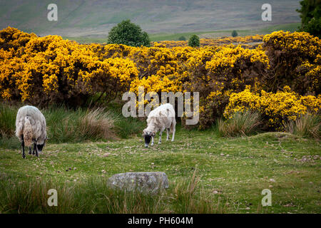 Moorland sheep peacefully grazing in the Lake District National Park, UK - Stock Image