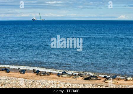 PORTGORDON BEACH MORAY SCOTLAND COMMON SEALS LYING ON THE SAND  AND AMASUS BOAT AT SEA - Stock Image