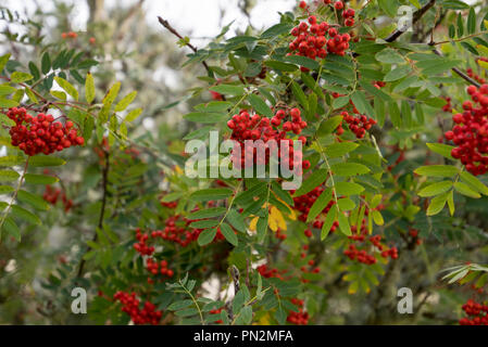 Scottish Native Red Rowan Berries on a tree in warm golden sun - Stock Image
