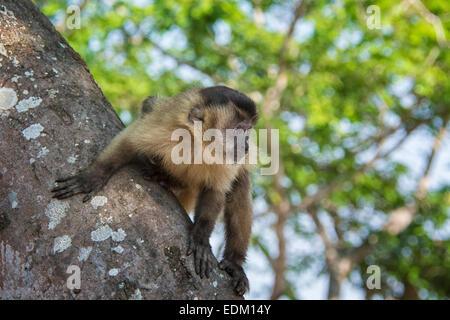 Brown Capuchin Monkey, Cebus apella, in a tree in the Pantanal, Mato Grosso, Brazil, South America - Stock Image