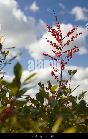 Winterberry Member of Holly Family Ilex Verticillata Cranes Beach Reservation Ipswich Massachusetts - Stock Image