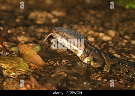 Close-up of a cottonmouth with tongue out. - Stock Image