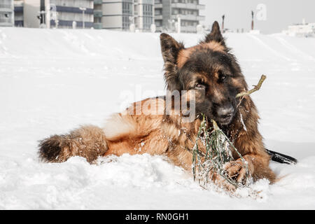 Picture of a german shepherd dog on the beach with snow. Riccione, Emilia Romagna, Italy. - Stock Image