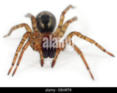 A Window lace-weaver (Amaurobius fenestralis) on white background. Window lace-weaver spiders are part of family - Stock Image