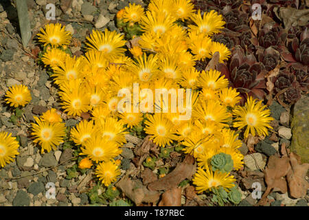 carpet of bright yellow delosperma congestum in spring, golden nugget delosperma in rockery - Stock Image