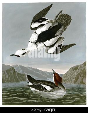 Smew, Mergellus albellus, birds, 1827 - 1838 - Stock Image