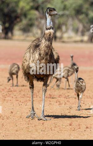 Male Emu with chicks Dromaius novaehollandiae - Stock Image