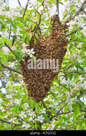 swarm of bees over the tree in countryside - Stock Image
