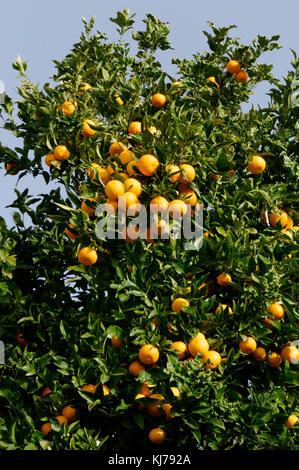 orange tree trees growing grow citrus fruit fruits in street in tenerife spain spanish oranges - Stock Image