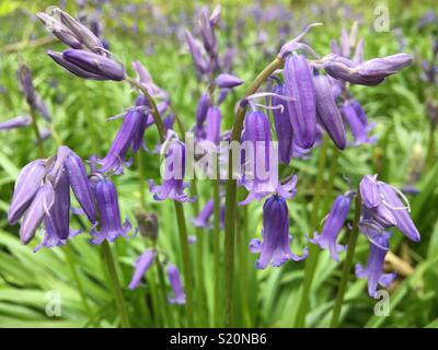 Wild bluebells growing in English woodland - Stock Image