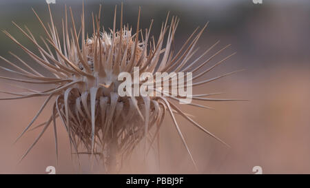 Prickly spikes of a single thistle in the heat of the Greek summer. East Attica, Greece, Europe. - Stock Image