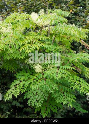 White, late summer flowers and ornamental foliage of the hardy small tree, Aralia elata - Stock Image