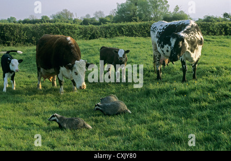 Badgers walk past curious cattle on UK farm highlighting bovine TB controversy - Stock Image