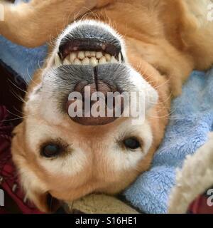 Smiling dog - Stock Image