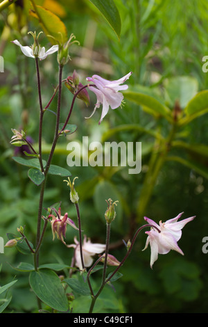 aquilegia wild flower blooming in english country garden. - Stock Image
