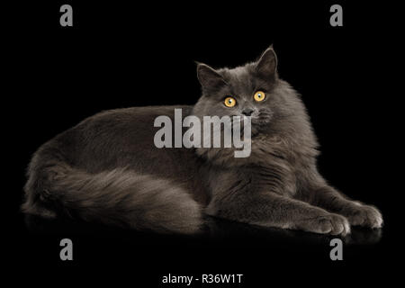 Furry Gray Cat Lying and Stare in camera on Isolated black background - Stock Image