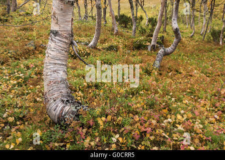 Bright colors of autumn birch forest in Vindelfjällen nature reserve, Kungsleden trail, Lapland, Sweden - Stock Image