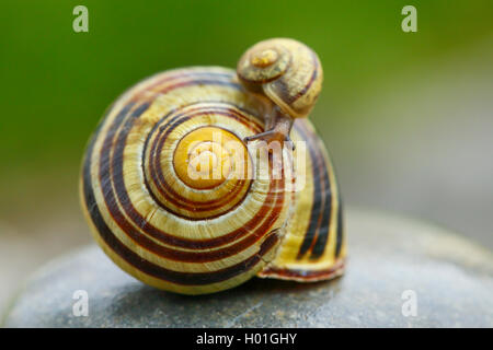 little snail on a big one Cepaea nemoralis brown-lipped snail - Stock Image