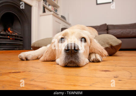 golden retriever pup lying down at home - Stock Image
