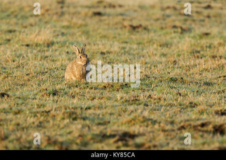 Wild rabbit, Latin name Oryctolagus cuniculus, sitting in a grassy field in early morning light - Stock Image