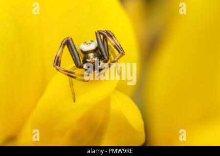 Male Misumena vatia crab spider resting on gorse flower. Tipperary, Ireland - Stock Image
