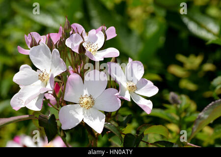 white and pink flowers - Stock Image