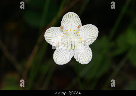 A grass of  Parnassus blolssom from the Blue Ridge Mountains of north Georgia, USA. - Stock Image