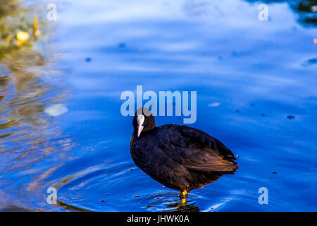 Common coot (Fulica Atra) standing on the shore of a river. - Stock Image
