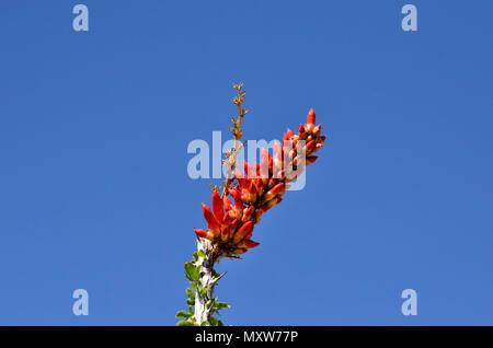 Ocotillo Bloom, Glorietta Canyon, Anza-Borrego Desert State Park, CA, USA 120328_70734 - Stock Image