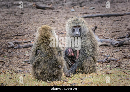 Two mother Olive Baboons, Papio anubis, holding tiny babies with each baby holding on with hands, Ol Pejeta Conservancy, Northern Kenya, East Africa - Stock Image