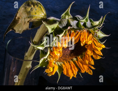 wilted sunflower - Stock Image