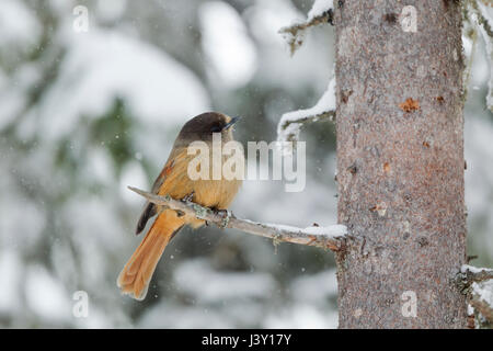 Siberian Jay, Latin name Perisoreus infaustus, perched on a pine tree in winter during a snow shower - Stock Image