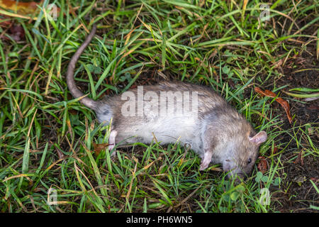 A dead brown rat Rattus norvegicus lying on some damp grass - Stock Image