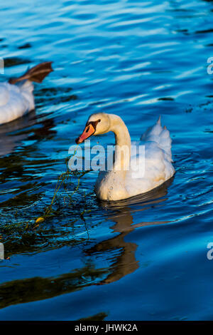 Mute swan (Cygnus Olor) eating leaves of a plant in the water. - Stock Image