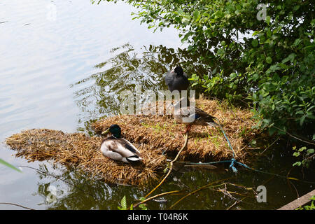 Ducks on the lake at Weald Country Park, South Weald, Brentwood, Essex, UK - Stock Image