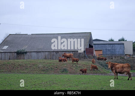 Cows on a farm in Cornwall with barns in the background. - Stock Image