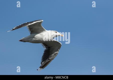 Great Black-backed Gull (Larus marinus) flying - Stock Image