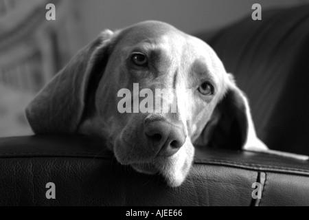 Weimaraner on sofa - Stock Image