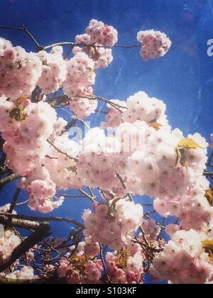 Light pink cherry blossom flowers - Stock Image