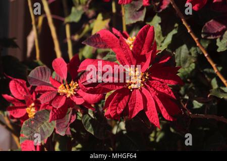 Close up view of poinsettia (euphorbia pulcherrima) blooms - Stock Image