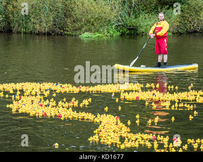 'Race' of plastic ducks on river Aller, charity event , Celle, Germany - Stock Image