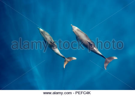 Bottlenose dolphins bow riding. - Stock Image