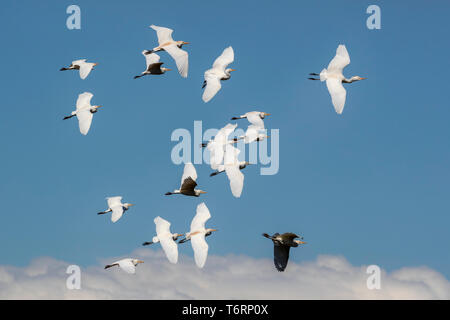 Western cattle egrets (Bubulcus ibis) in flight, Addo Elephant national park, Eastern Cape, South Africa, September 2018 - Stock Image