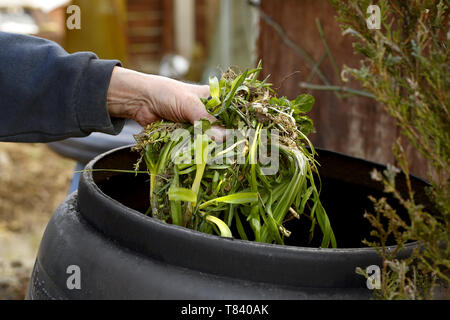 A mans hand shown placing garden waste into a compost bin - Stock Image