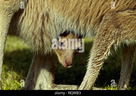 Cute and humorous photograph of kangaroo joey peeking from furry pouch of its mother - Stock Image