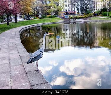 Berlin Mitte. Grey heron, Ardea Cinerea sits next to pond in public park, Volkspark am Weinbergsweg - Stock Image