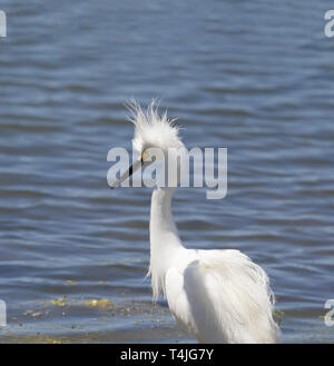 Snowy Egret Bad Hair Day - Stock Image